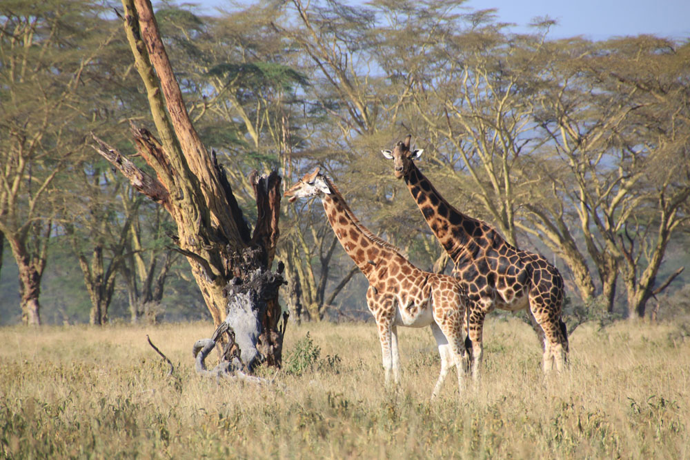 lake-nakuru-giraffe